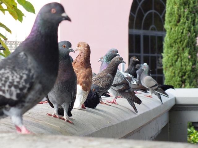 pigeons-windowsill