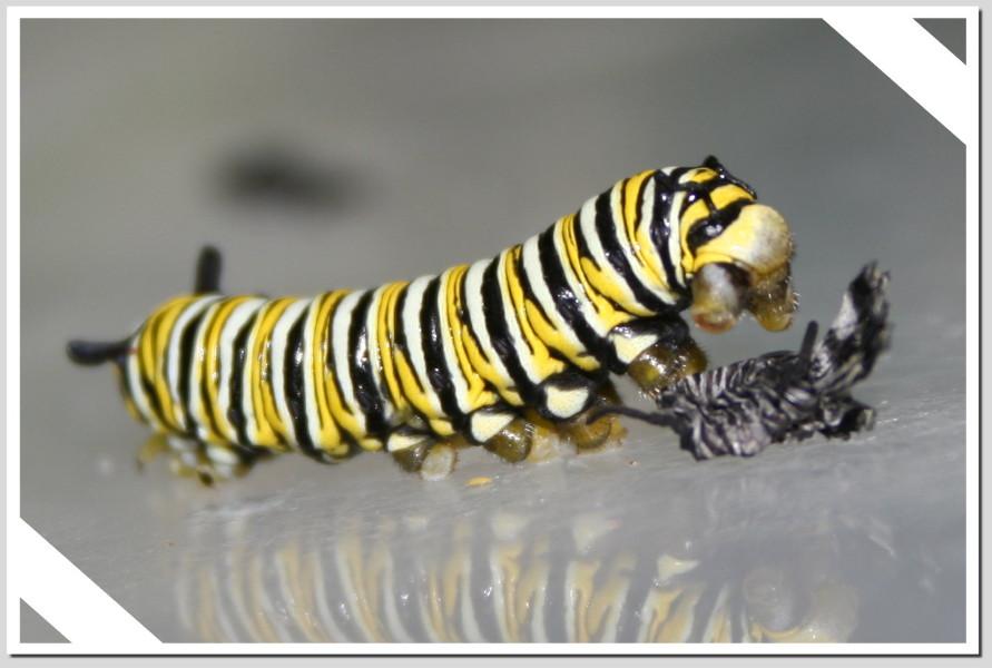 caterpillar-molt
